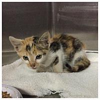 Adopt A Pet :: Calico - Comanche, TX