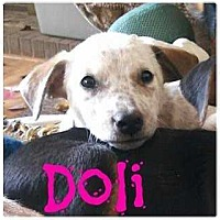 Adopt A Pet :: Doli - Denver, CO