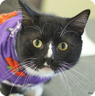Domestic Shorthair Cat for adoption in East Hartford, Connecticut - Dooley