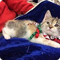 Domestic Shorthair Kitten for adoption in Wilmore, Kentucky - Midge