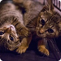 Adopt A Pet :: IBKNY - cats & kittens - Brooklyn, NY