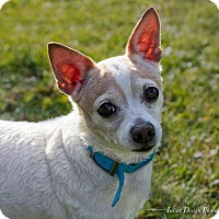 Chihuahua Mix Dog for adoption in Toronto, Ontario - Sweet Pea