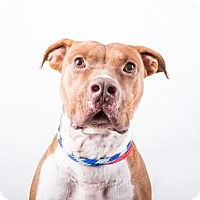 American Pit Bull Terrier Mix Dog for adoption in Decatur, Georgia - Baltic