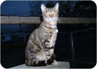 Domestic Shorthair Cat for adoption in Springdale, Arkansas - Kenta