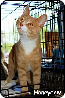 Domestic Shorthair Cat for adoption in Merrifield, Virginia - Honeydew