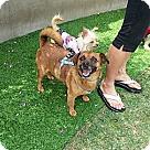 Adopt A Pet :: Leo is a Puggle!