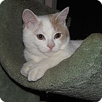 Adopt A Pet :: Harlen ADORABLE KITTEN! - Burbank, CA