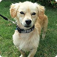 Adopt A Pet :: *Barney - PENDING - Westport, CT