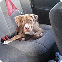 Adopt A Pet :: Dharma - Shavertown, PA