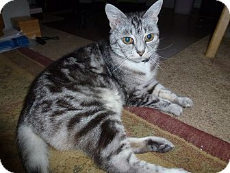 Domestic Mediumhair Cat for adoption in Sherman Oaks, California - Molly