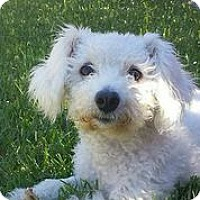 Adopt A Pet :: Desi - Austin, TX