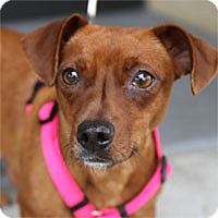 Dachshund/Chihuahua Mix Dog for adoption in Pacific Grove, California - Winnie