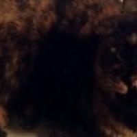 Calico Cat for adoption in Livonia, Michigan - Anna