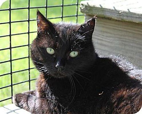 Domestic Shorthair Cat for adoption in Lunenburg, Massachusetts - Leann