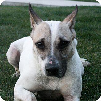 Shepherd (Unknown Type)/Labrador Retriever Mix Dog for adoption in Stockton, California - Helen