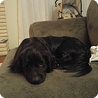 Adopt A Pet :: Moe - Pitt Meadows, BC