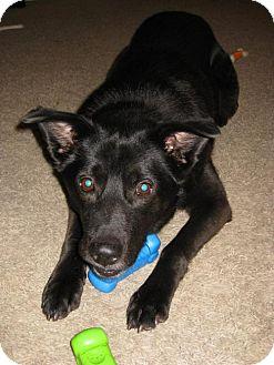 Labrador Retriever Dog for adoption in Mission, Kansas - Smurf
