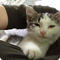 Domestic Shorthair Kitten for adoption in Cleveland, Ohio - Selma