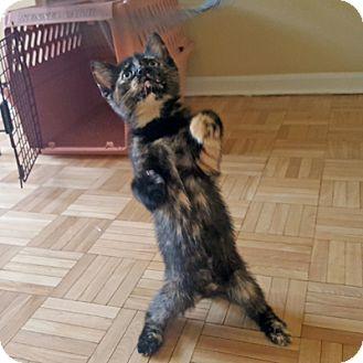 Domestic Shorthair Kitten for adoption in Mississauga, Ontario, Ontario - Cheska