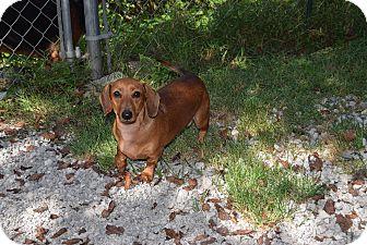 Dachshund Dog for adoption in Hazard, Kentucky - Sugar