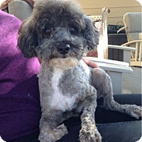 Toy Poodle Dog for adoption in Temecula, California - Wallace
