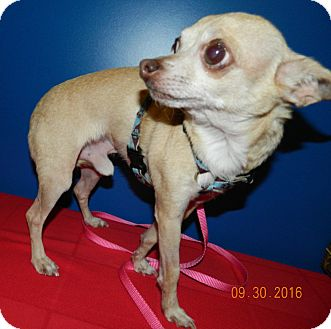 Chihuahua Dog for adoption in Umatilla, Florida - Leo