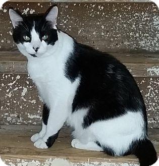 Domestic Shorthair Cat for adoption in McKinney, Texas - Dahlia