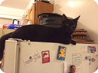 Bombay Cat for adoption in Brooklyn, New York - Beautiful Bombay Onyx