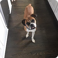 Boxer Dog for adoption in Williamsburg, Virginia - LEXI