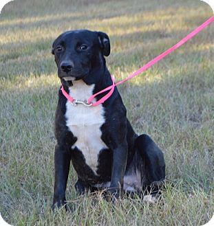 Labrador Retriever Mix Puppy for adoption in Portsmouth, New Hampshire - Jewel