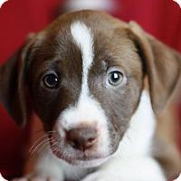 Adopt A Pet :: Lafayette - Nanuet, NY