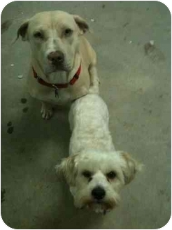 Labrador Retriever/Maltese Mix Dog for adoption in Van Nuys, California - Bella & Riley