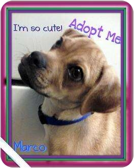 Pug/Beagle Mix Puppy for adoption in Lakeland, Florida - Marco