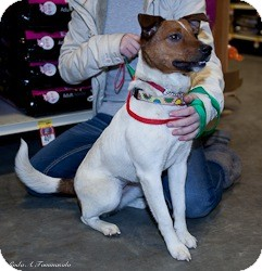 Jack Russell Terrier Dog for adoption in Loudonville, New York - Maggie