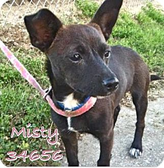 Miniature Pinscher/Chihuahua Mix Puppy for adoption in Baton Rouge, Louisiana - Misty