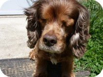 Cocker Spaniel Dog for adoption in Spring City, Tennessee - Hannah
