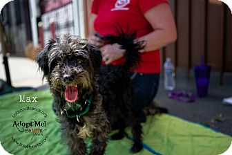 Cairn Terrier/Poodle (Miniature) Mix Puppy for adoption in Burbank, California - Maxx