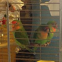 Lovebird for adoption in Beach, North Dakota - 2 Amigos