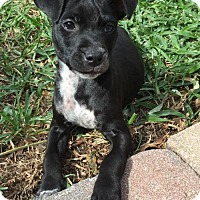 Adopt A Pet :: Hocus~Pocus - Royal Palm Beach, FL