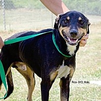 Manchester Terrier/Shepherd (Unknown Type) Mix Dog for adoption in Baltimore, Maryland - Rico