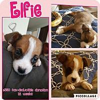 Adopt A Pet :: Elfie - Scottsdale, AZ