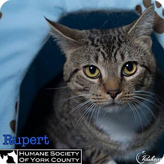 Domestic Mediumhair Cat for adoption in Fort Mill, South Carolina - Rupert