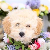 Adopt A Pet :: Diana - Auburn, CA