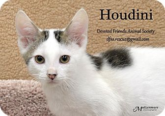Domestic Shorthair Kitten for adoption in Ortonville, Michigan - Houdini