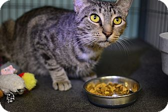 Domestic Shorthair Cat for adoption in Tomball, Texas - Birdie