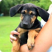 Adopt A Pet :: Sophie Pup - Glastonbury, CT