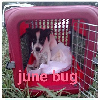 Chihuahua Mix Dog for adoption in fort wayne, Indiana - June Bug