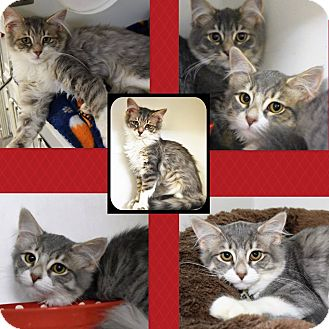 Domestic Mediumhair Kitten for adoption in Seville, Ohio - Ruthie, Rosalie and Reese