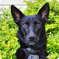 German Shepherd Dog/Border Collie Mix Dog for adoption in Gretna, Nebraska - Juno