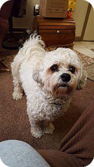 Bichon Frise/Poodle (Miniature) Mix Dog for adoption in New Oxford, Pennsylvania - Jasper Boy
